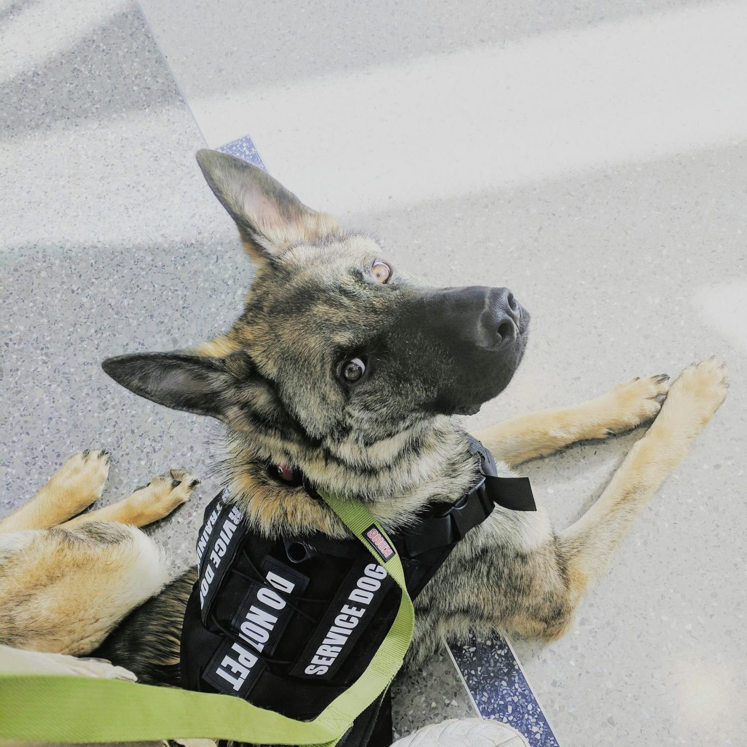 Sig is a German Shepherd  is full fledged service dog. He is 3 1/2 years old. He was trained for 15 months in order to have his task training  and public access training well enough to be a full fledged service dog.